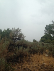 This sagebrush is taller than me! At Ambrose Park, Reno, NV.