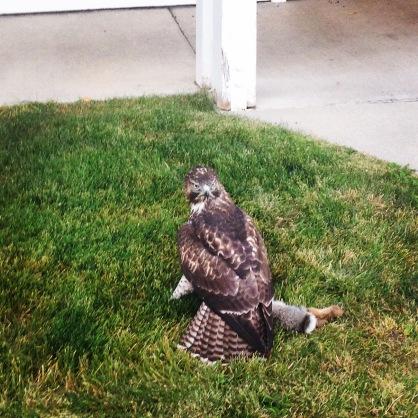 This Hawk has got his Catch.