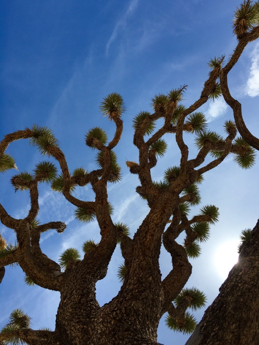 One of the Largest Joshua Trees